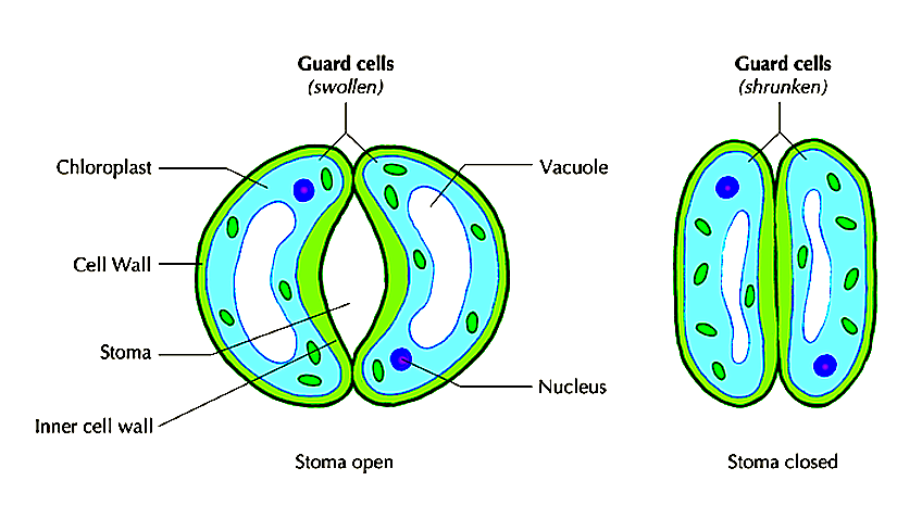 FIGURE 1: STRUCTURE OF GUARD CELL
